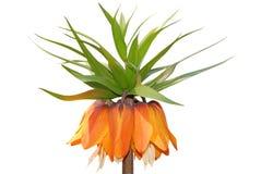 Fritillaria imperialis Rubra Royalty Free Stock Image