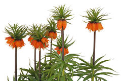 Fritillaria imperialis Rubra common Royalty Free Stock Photos