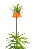 Fritillaria imperialis Rubra common name Crown Imperial Stock Image
