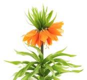 Fritillaria imperialis. Royalty Free Stock Photo