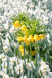 Fritillaria imperialis Royalty Free Stock Photos