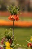 Fritillaria-Lilie (umgekehrte Tulpe) Lizenzfreies Stockfoto
