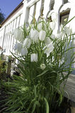 FRITILLARIA MELEAGRIS. Unique white flowers,white liliaceae meleagris in the garden Stock Images