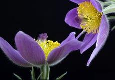 Fritillaria meleagris. Of  lily family Royalty Free Stock Photo