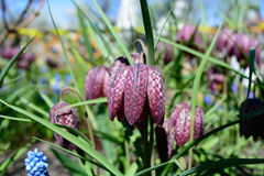 Fritillaria Meleagris. Blossoming on a bed in a garden in the summer Stock Photography