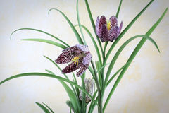 Fritillaria Meleagris - Checkered Lily Royalty Free Stock Photos