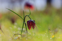 Fritillaria meleagris (chess flower) oak forest Royalty Free Stock Photography