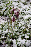 Fritillaria meleagris covered with snow. During April snow storm in Ukraine Royalty Free Stock Images