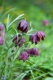 Fritillaria meleagris flowers Royalty Free Stock Image