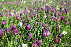 Fritillaria meleagris, flowers of snake's head fritillary (snake Royalty Free Stock Photo