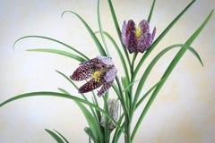 Fritillaria Meleagris - Geruite Lelie Royalty-vrije Stock Foto's