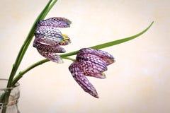 Fritillaria Meleagris - Guinea-hen Stock Photo
