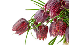 Fritillaria meleagris Royalty Free Stock Image