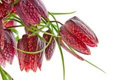 Fritillaria meleagris. Isolated on white Royalty Free Stock Image