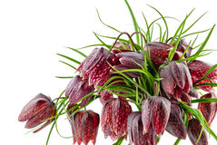 Fritillaria meleagris isolated Stock Photos
