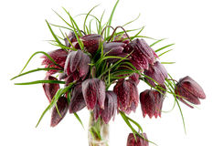 Fritillaria meleagris Royalty Free Stock Photo