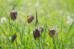 Fritillaria meleagris in a natural habitat Royalty Free Stock Photo