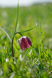 Fritillaria meleagris in a natural habitat Royalty Free Stock Photography