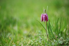 Fritillaria meleagris. In the nature Royalty Free Stock Image