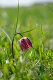 Fritillaria meleagris w naturalnym siedlisku Fotografia Royalty Free