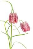 Fritillaria meleagris on white background stock photos