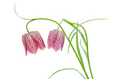Fritillaria meleagris on white background Royalty Free Stock Image