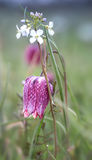 Fritillaria meleagris. With white wildflowers Stock Image