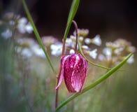 Fritillaria meleagris Stock Image