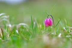 Fritillaria meleagris Stock Photo
