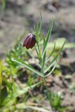 Fritillaria Montana Obraz Royalty Free