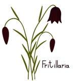 Fritillaria plant illustration Royalty Free Stock Photos