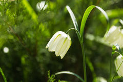 Fritillaria (plant in the lily family). Alone white flower Stock Photography