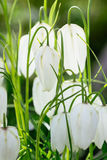 Fritillaria plant in the lily family Royalty Free Stock Photography