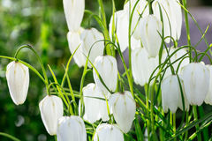 Fritillaria plant in the lily family Stock Image