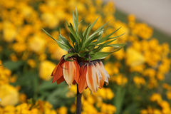 Fritillaria Royal Crown Flower Stock Photography