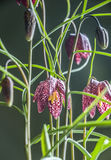 Fritillaria. Snakehead Fritillaria flowers isolated on a green background in Spring Royalty Free Stock Photography