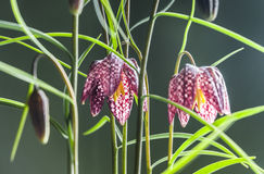 Fritillaria. Snakehead Fritillaria flowers isolated on a green background in Spring Royalty Free Stock Photos