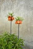 Fritillariaimperialis Royalty-vrije Stock Fotografie