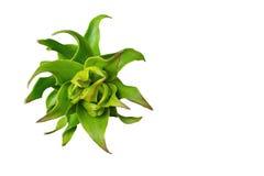 Fritillariaimperialis slår ut närbilden som isoleras på viten Arkivbild