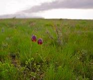 Fritillariaruthenica Stock Foto