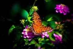 fritillary κόλπος πεταλούδων Στοκ εικόνες με δικαίωμα ελεύθερης χρήσης
