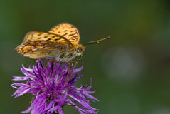Fritillary. The silverspot butterfly sitting on the flower Royalty Free Stock Photos