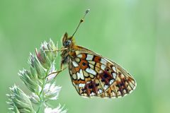 Fritillary Royalty Free Stock Images