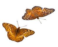 Fritillary Stock Images