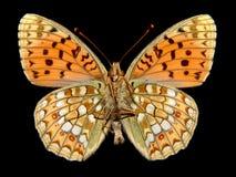 Fritillary aislado de la mariposa fotografía de archivo libre de regalías