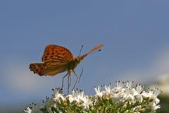 Fritillary Argento-lavato (paphia del Argynnis) Fotografia Stock Libera da Diritti