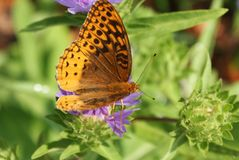 Fritillary butterfly in North Carolina captured feeding! royalty free stock photo