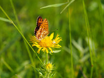Fritillary Boloria from Nymphalidae Royalty Free Stock Images