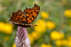 A fritillary butterfly. Is standing on a pink flower Royalty Free Stock Photo
