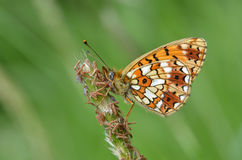 Fritillary Butterfly, Argynnis Royalty Free Stock Image